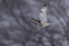 Short-Eared Owl 23