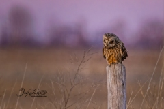 Short-Eared Owl 26