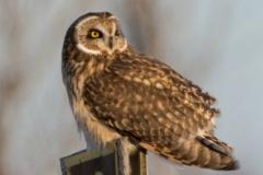 Short-Eared Owl 28