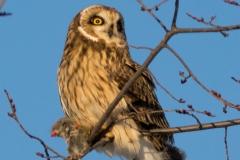 Short-Eared Owl 29