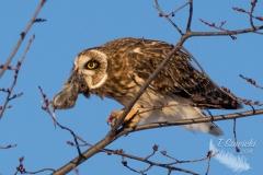 Short-Eared Owl 30
