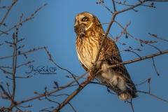 Short-Eared Owl 31