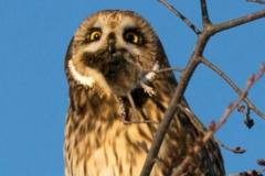 Short-Eared Owl 32