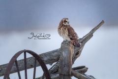 Short-Eared Owl 33