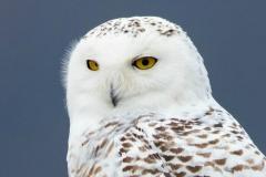 Snowy Owl 9