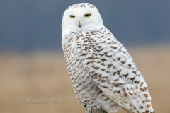 Snowy Owl 10