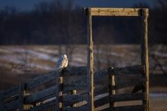 Snowy Owl 16