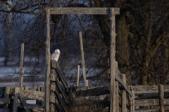 Snowy Owl 15