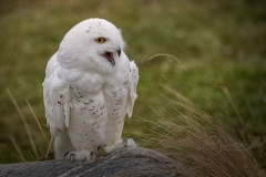 Snowy Owl 19