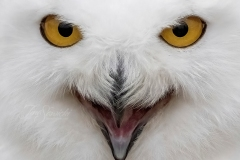 Zoomed Snowy Owl