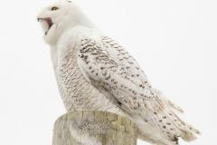 Snowy Owl 24
