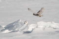 Snowy Owl 26