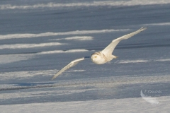 Snowy Owl 29