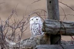 Snowy Owl 30