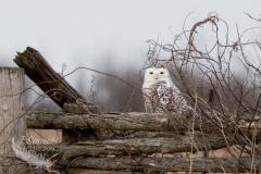 Snowy Owl 31