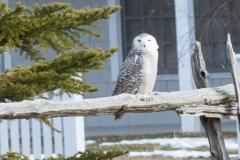 Snowy Owl 33