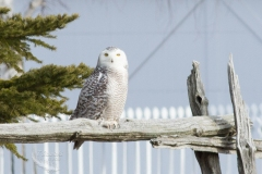 Snowy Owl 34