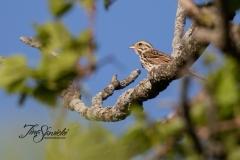 Savannah Sparrow 3