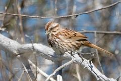 Song Sparrow 10