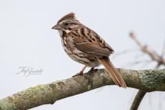 Lincoln's Sparrow 2