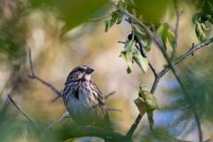 Song Sparrow 5