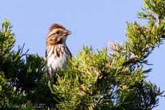 Lincoln's Sparrow 3