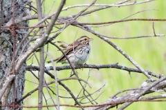Song Sparrow 6