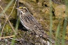 Savannah Sparrow 5