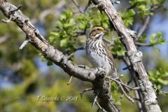 Savannah Sparrow 4