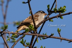White Crowned Sparrow