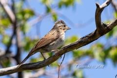 Lincoln's Sparrow 4