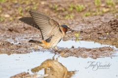 Cliff Swallow 4