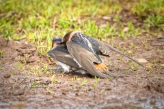 Cliff Swallow 2