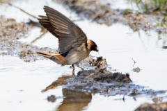Cliff Swallow 7