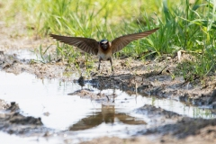 Cliff Swallow 3