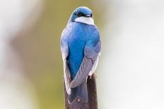 Tree Swallow 1