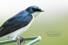 Tree Swallow 5