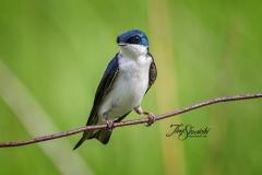 Tree Swallow 6