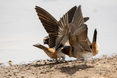 Cliff Swallow 5
