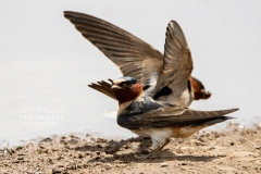 Cliff Swallow 6