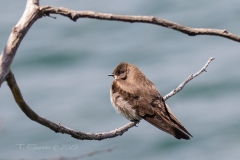 Rough-Winged Swallow 1