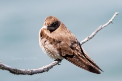 Rough-Winged Swallow 2