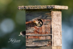 Tree Swallow Chick 1