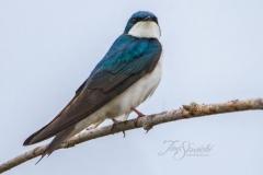 Tree Swallow 9