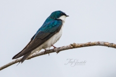 Tree Swallow 10
