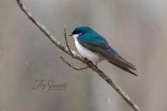 Tree Swallow 12