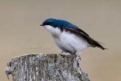Tree Swallow 13