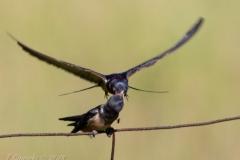 Barn Swallow 3
