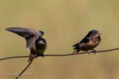 Barn Swallow 5