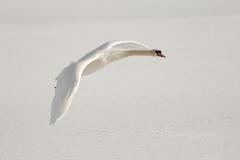 Mute Swan 16